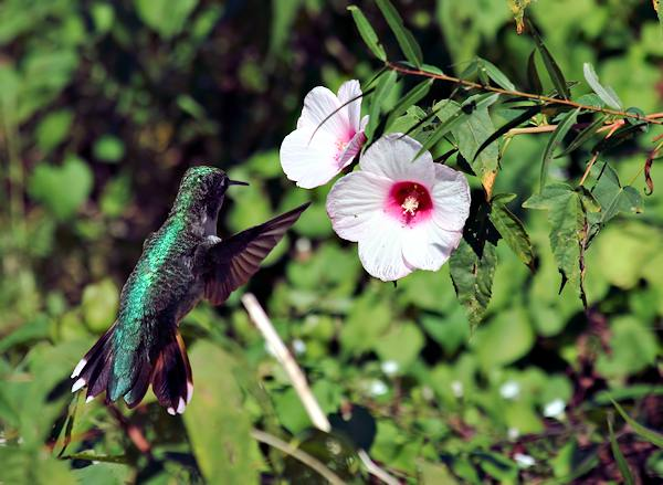 Humminbird and Wildflower