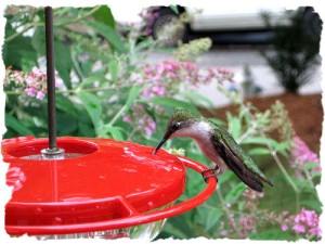 Hummingbird nectar recipe.