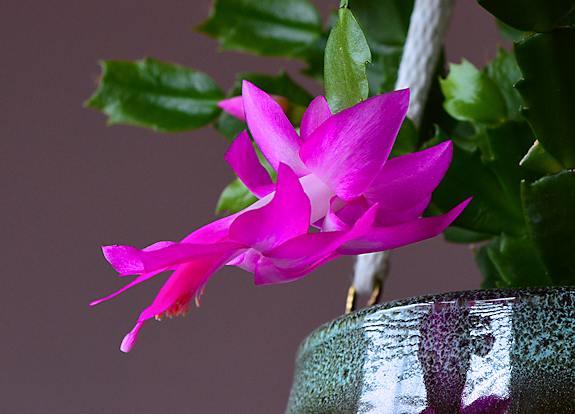 Christmas cactus photo taken with our new Nikon D5100 camera