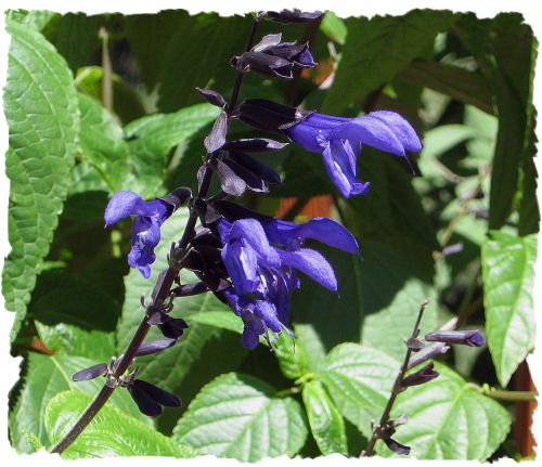 Picture of salvia - black and blue considered one of the best flowers for attracting hummingbirds