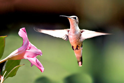 Hummingbird photo captured in motion in front of flower