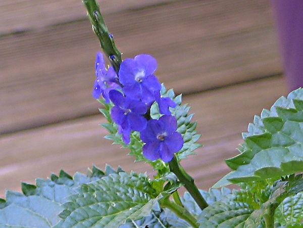 Close up Photo of Blue Porterweed (Stachytarpheta urticifolia)