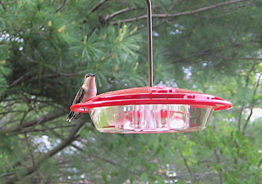 our first hummingbird sighting of 2012