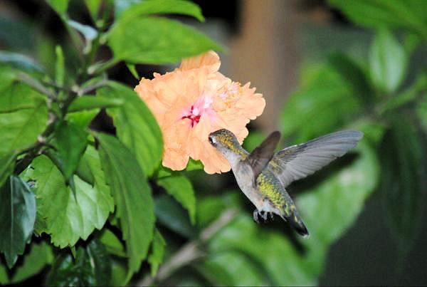 Female rubythroat feeding on flower