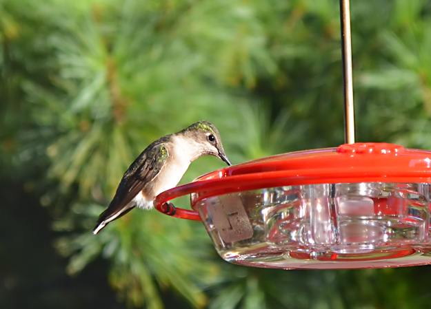 fat hummingbird at feeder drinking