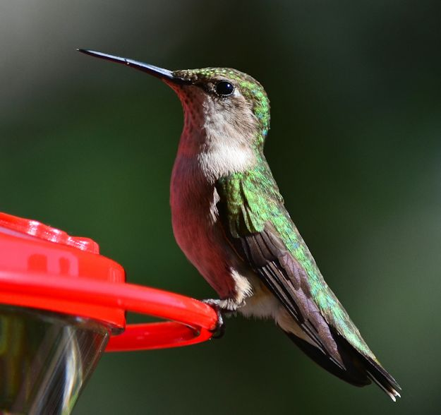 Picture of female hummingbird looking up
