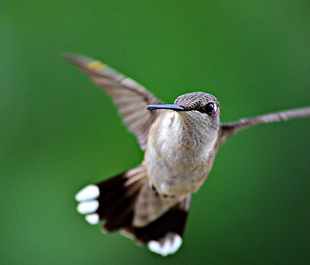 how to get a picture of a hummingbird