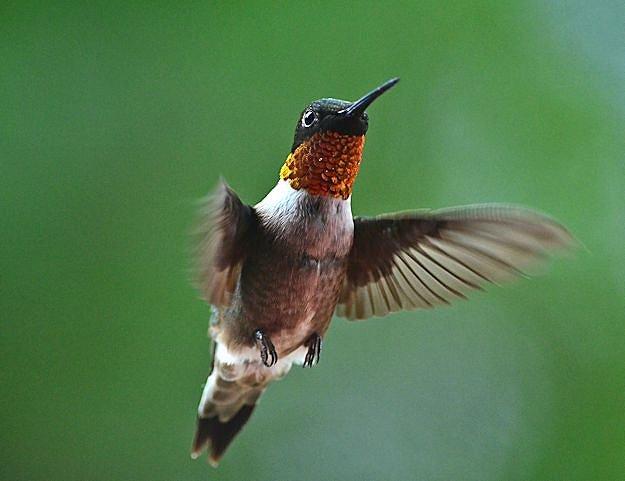male rubythroat