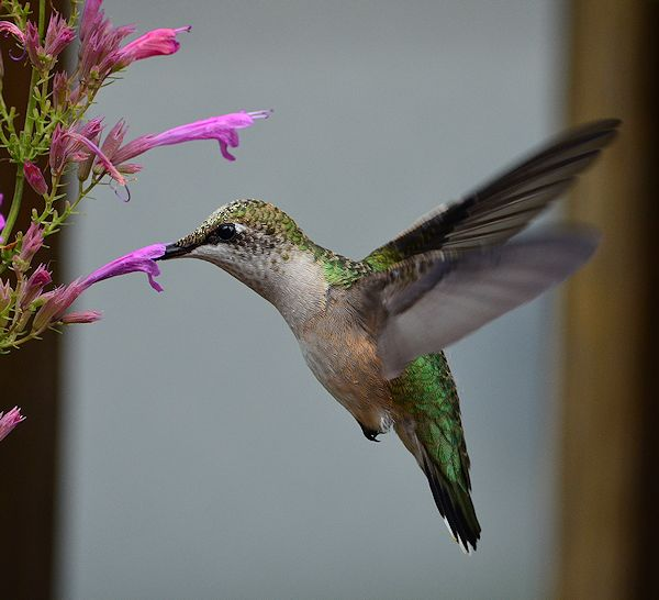 Hummingbird and agastache