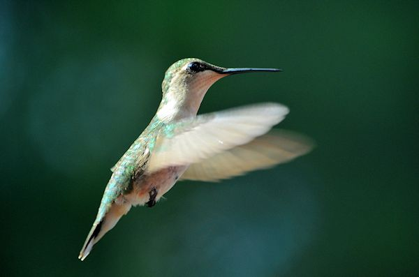 Rubythroated flying