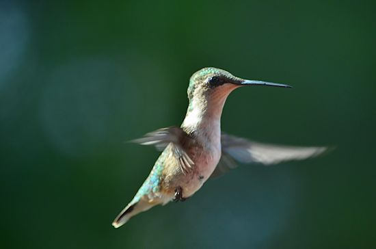 Little girl ruby-throated hummingbird photo