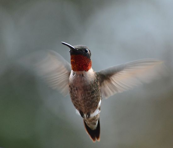 Male rubythroat hummingbird
